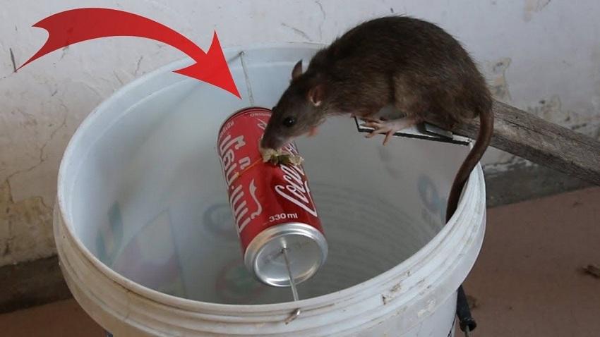 Cách bẫy chuột cống bằng vỏ lon