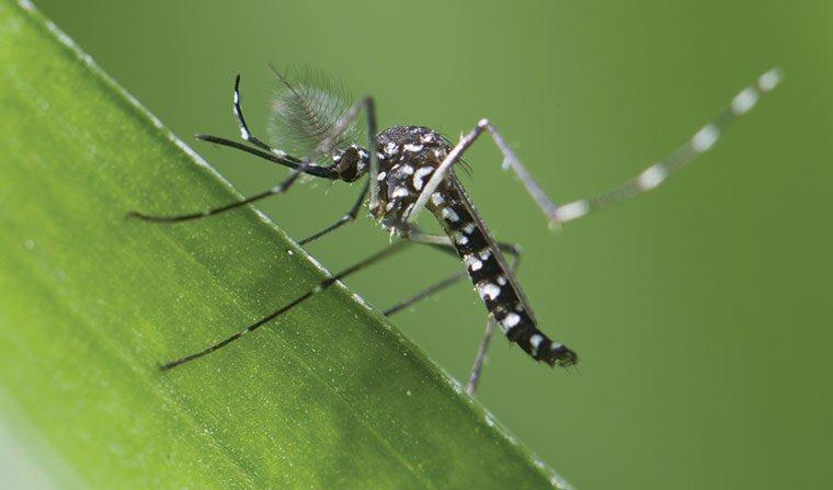 muỗi gây sốt xuất huyết