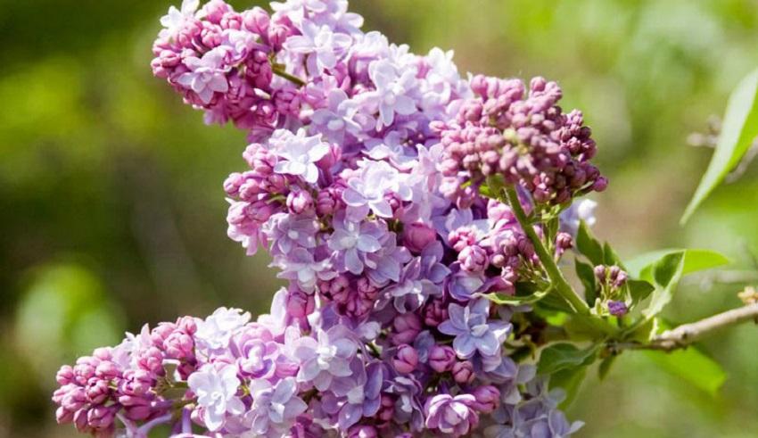 Cây hoa đinh hương đuổi muỗi