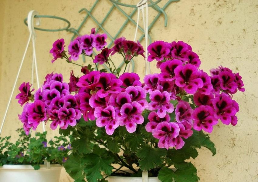 Cây hoa phong lũ