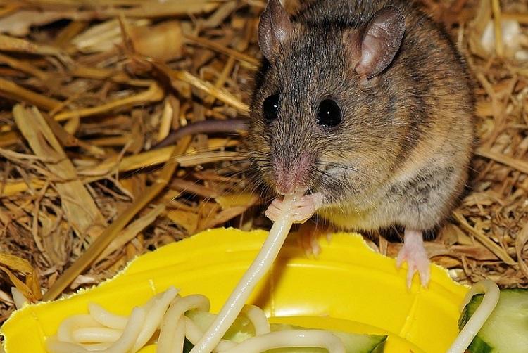 Chuột thích ăn gì nhất