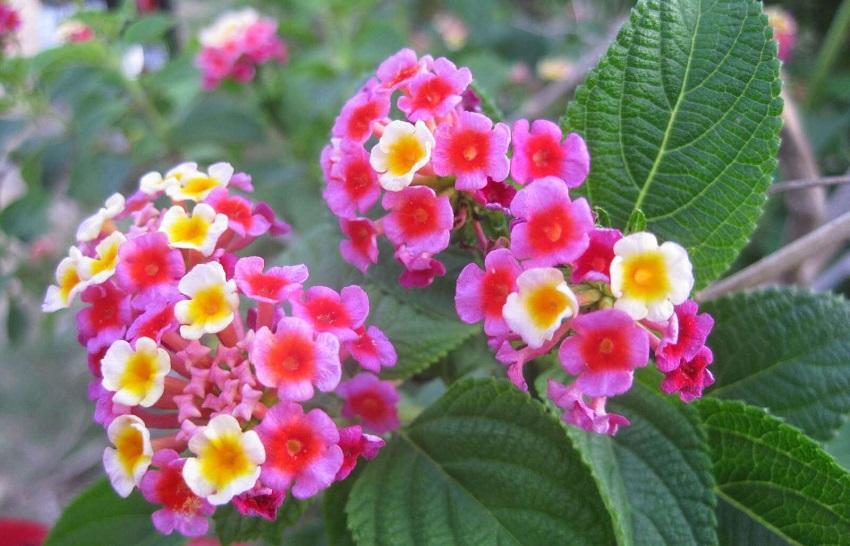 Trồng cây hoa ngũ sắc đuổi muỗi