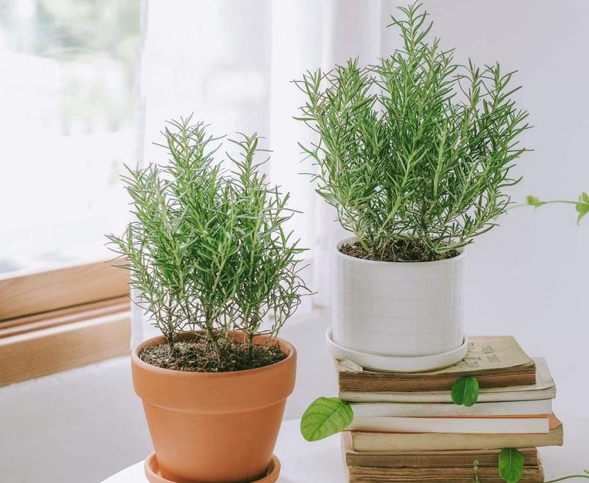 Trồng cây hương thảo
