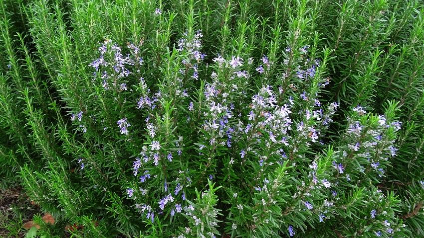 Cây hương thảo đuổi côn trùng
