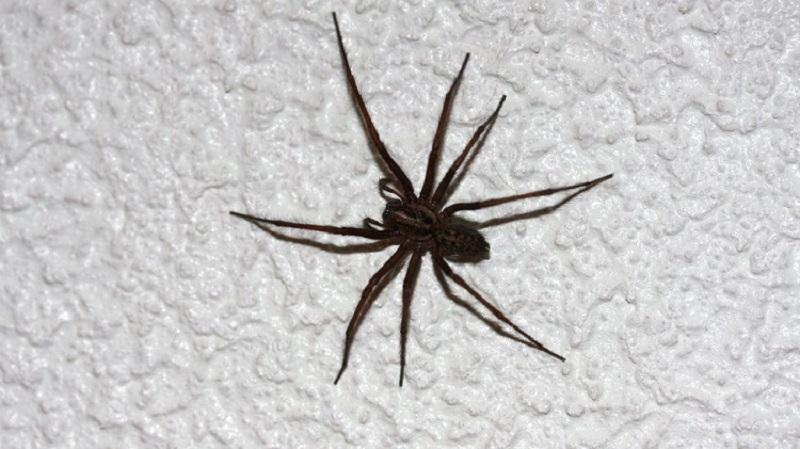 Con nhện nhà