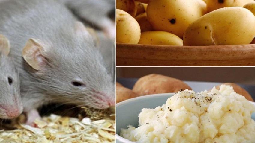 Mẹo diệt chuột từ khoai tây
