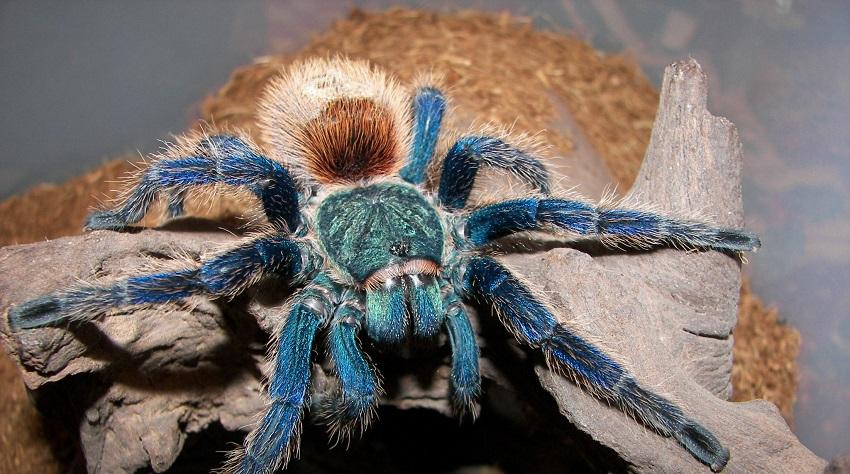 Chromatopelma Cyaneopubescens (Greenbottle Blue Tarantula)