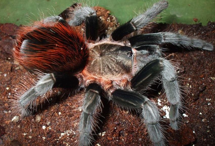 Nhện cảnh Mexican Red Rump Tarantula