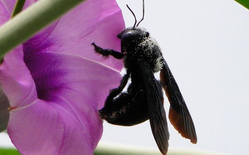 Ong bầu