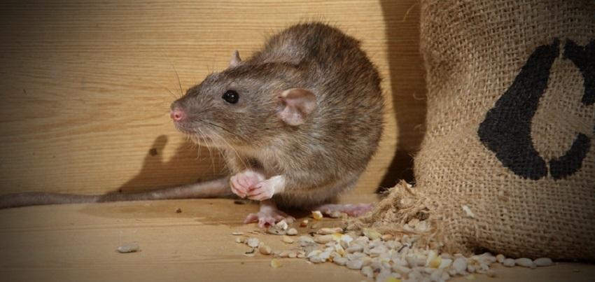 Bệnh dịch tễ do chuột cắn chảy máu