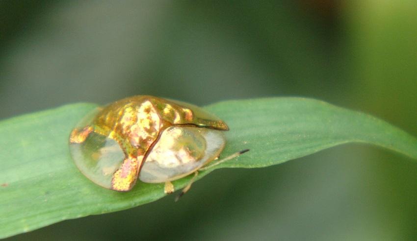 Bọ rùa vàng Charidotella sexpunctata