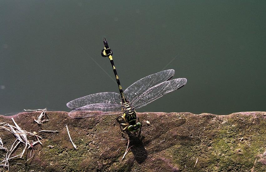 Hình ảnh con chuồn chuồn-31