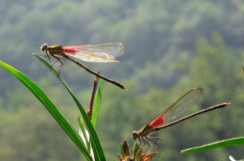 Hình ảnh con chuồn chuồn-29