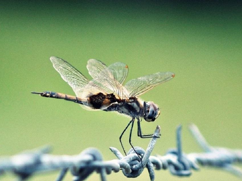 Hình ảnh con chuồn chuồn-20