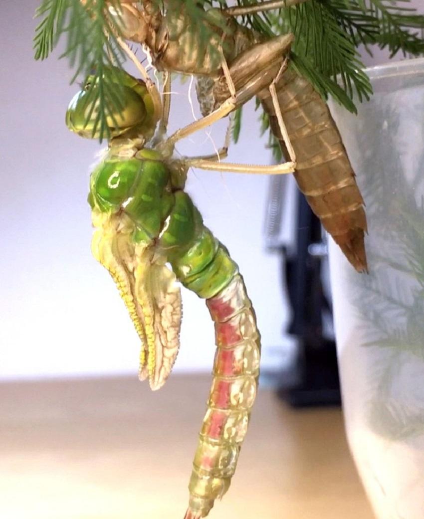 Hình ảnh con chuồn chuồn-11