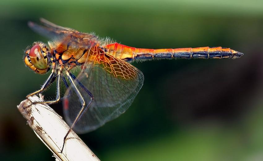 Hình ảnh con chuồn chuồn-13