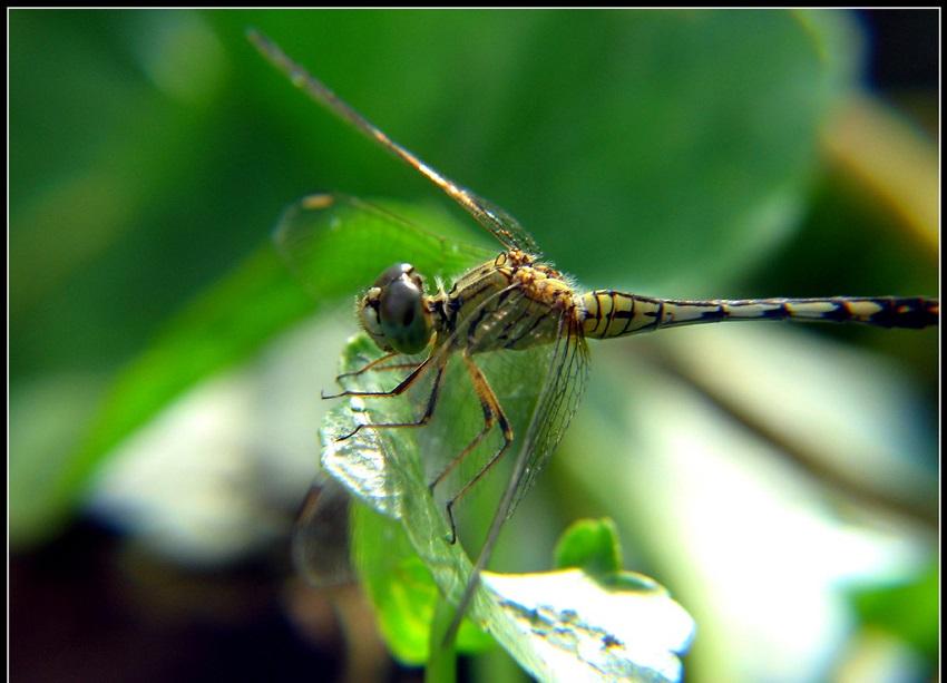Hình ảnh con chuồn chuồn-19