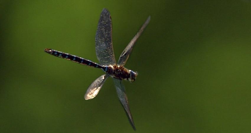 Hình ảnh con chuồn chuồn-5