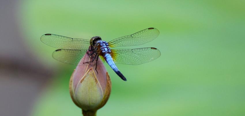 Hình ảnh con chuồn chuồn-45